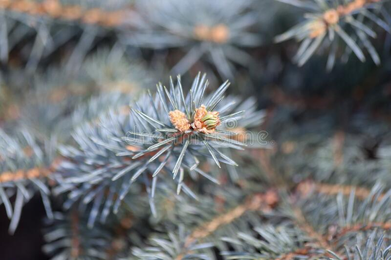 New shoot and young cones on a spruce tree. Closeup of a new shoot and young cones on a spruce tree stock image