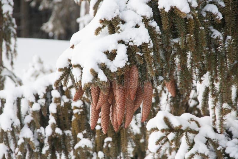 Download New Snow On The Pine Tree Cones Stock Photo - Image: 29504444