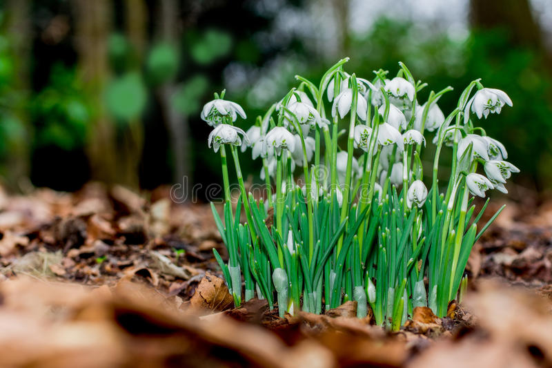 New snowdrop. New growth of snowdrop flowers through the layer of autumn felt leafs of previous year stock photo