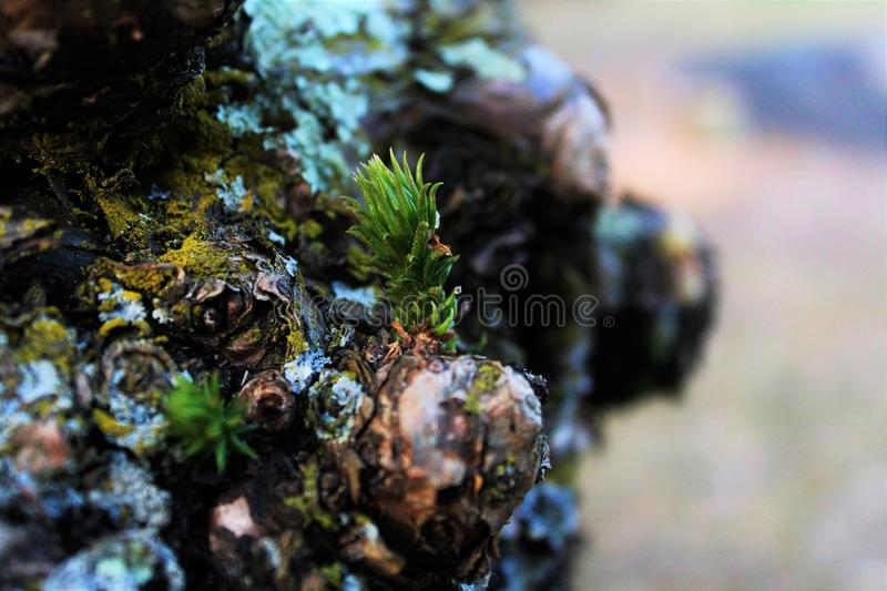 New sprig macro pine royalty free stock photo