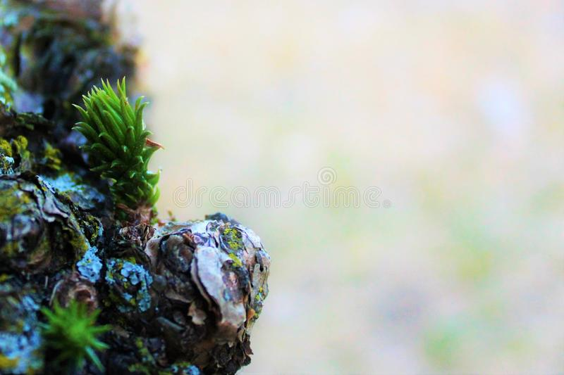 New sprig of pine trees stock photos