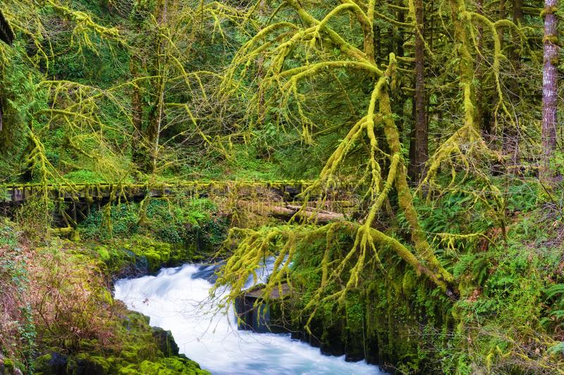 Fairy like setting at Cedar Creek. New spring green colors enchant this woodsy scene along the Cedar Creek in Washington State royalty free stock photos