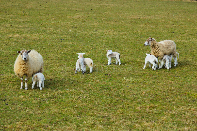 Download New Spring Lambs stock image. Image of feeding, spring - 11419963