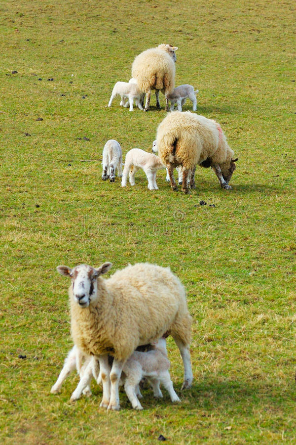 Download New Spring Lambs stock photo. Image of lowland, animals - 11420004