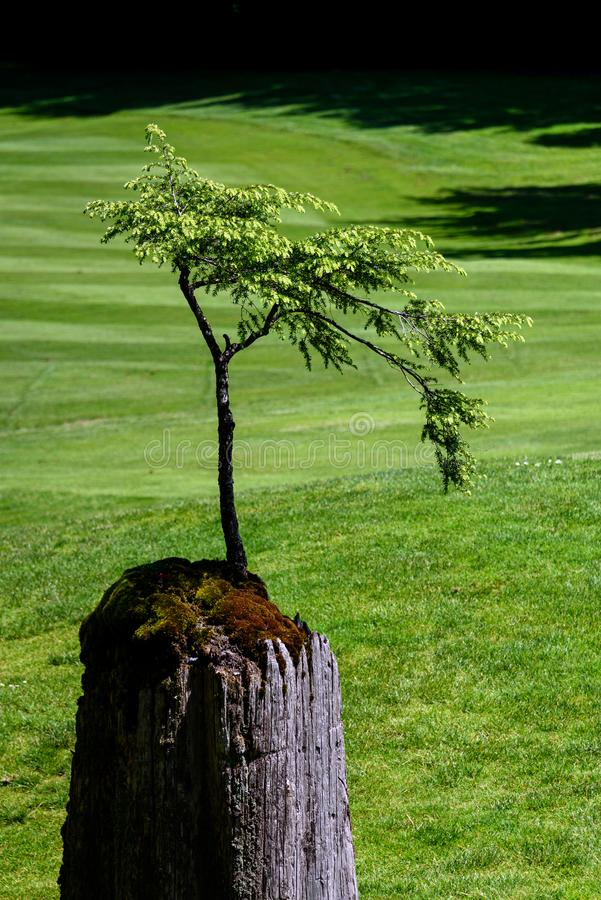 New tree growing out of old stump, golf course fairway grass in the background royalty free stock photos