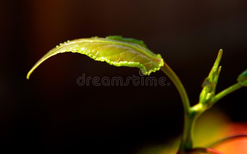 New Tree Leaf royalty free stock photo