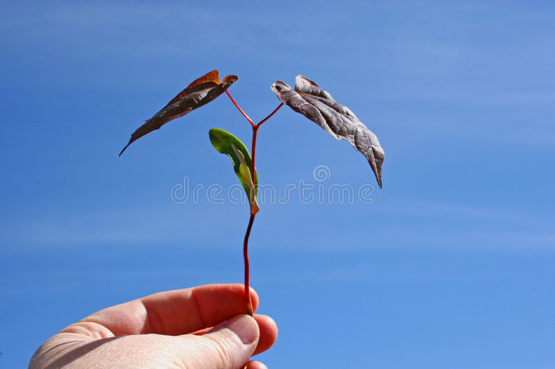 New Tree & a New Beginning. A new maple tree. New growth and a new beginning royalty free stock photography