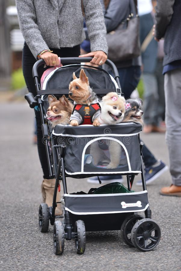 Pet dogs in baby carriage travel with owner royalty free stock photos