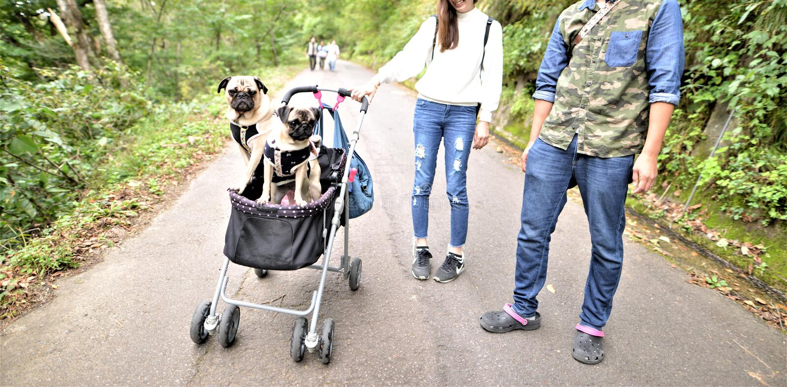 Pet dogs in baby carriage travel with owner stock photography