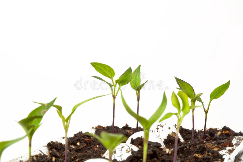 New Vegetable Seedlings. Healthy pepper seedlings in an egg crate, ready for spring planting. High key image with white background royalty free stock image