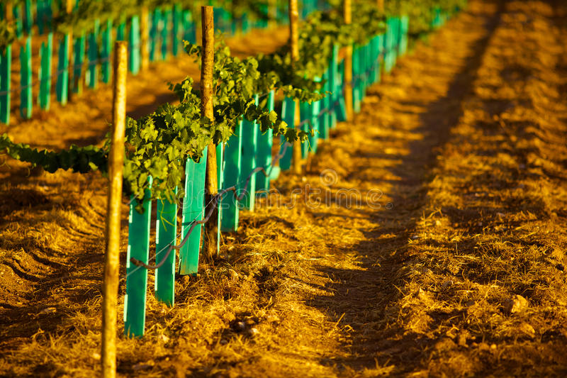 New vineyard royalty free stock photos