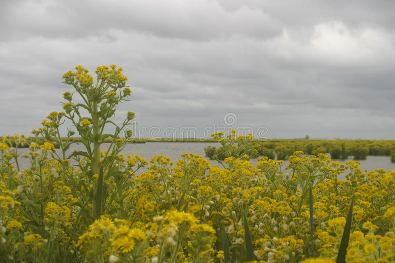 New wetland area Markerwadden with flowering plants Tephroseris palustris and grey skies. Yellow flowering Tephroseris palustris in new wetland area Marker royalty free stock photography