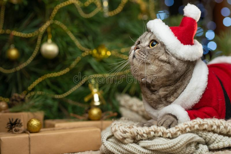 New Year, Christmas cat in Santa hat and costume on the background of a Christmas tree and lights. New Year, Christmas cat in Santa hat and costume on the a royalty free stock photos