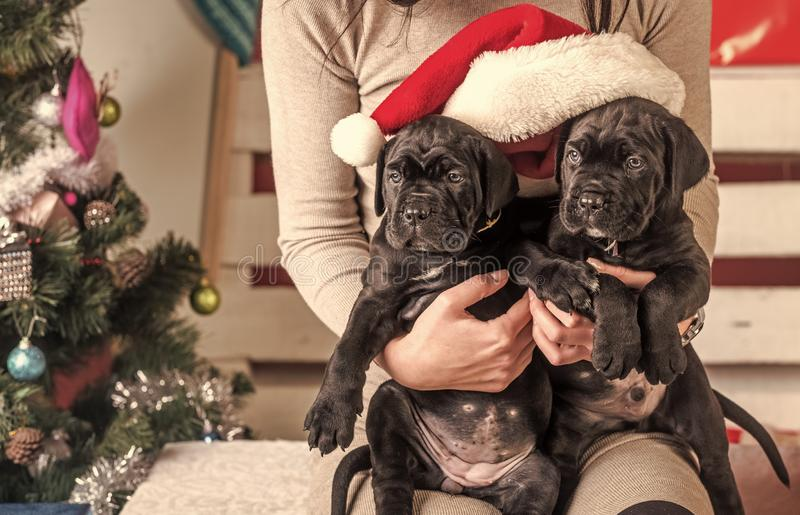 New year, cute puppy at female hand. Pet and animal, dog year, gift. winter party. Year of dog, holiday celebration. Cane corso puppy at Christmas tree royalty free stock photography