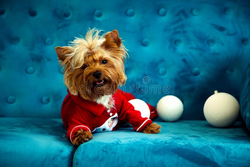 Photo session couch tiffany blue turquoise color dog pet new year christmas red terrier sofa toy. A New Year dog photo session on a couch. A little sweet little stock photo