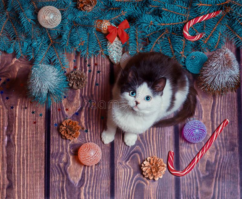 New year flat lay gray and white kitten on a wooden floor with Christmas decorations and blue fir branches. Christmas flat lay gray and white kitten on a wooden royalty free stock photography