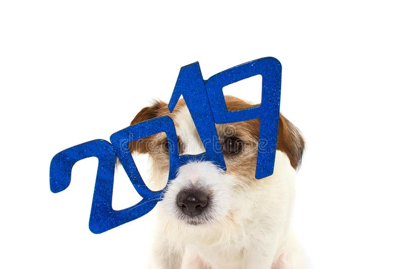2019 NEW YEAR. FUNNY JACK RUSSELL DOG WITH A GLITTER BLUE TEXT G. LASSES OR SIGN OVER ITS HEAD. ISOLATED STUDIO SHOT AGAINST WHITE BACKGROUND stock image