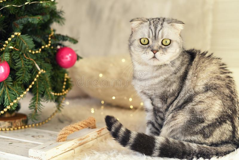 New Year`s Christmas scenery. The branches of a Christmas tree with toys and sparkling lights and a pet gray gray lop-eared cat. T royalty free stock photo