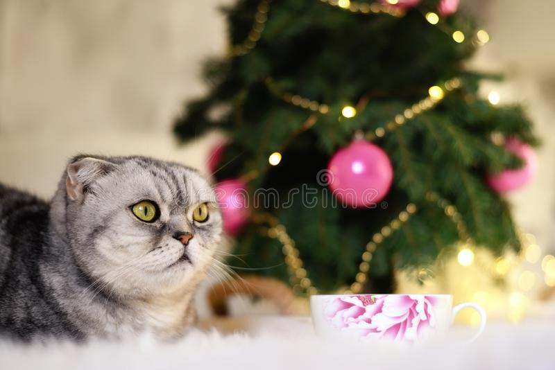 New Year`s Christmas scenery. The branches of a Christmas tree with toys and sparkling lights and a pet gray gray lop-eared cat. T stock photography