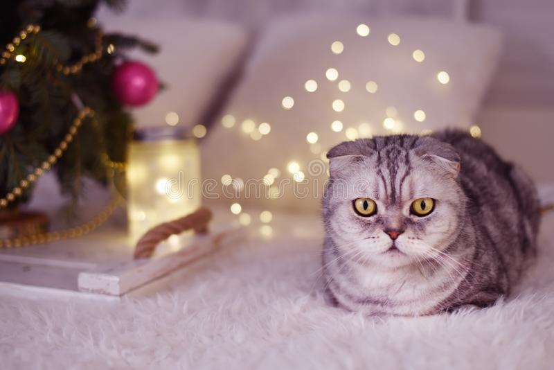 New Year`s Christmas scenery. The branches of a Christmas tree with toys and sparkling lights and a pet gray gray lop-eared cat. T royalty free stock photography
