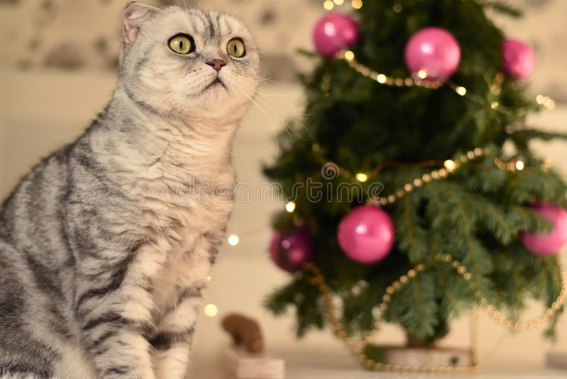 New Year`s Christmas scenery. The branches of a Christmas tree with toys and sparkling lights and a pet gray gray lop-eared cat. T stock images