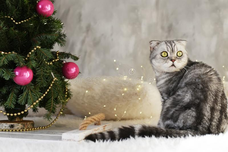 New Year`s Christmas scenery. The branches of a Christmas tree with toys and sparkling lights and a pet gray gray lop-eared cat. T stock photos