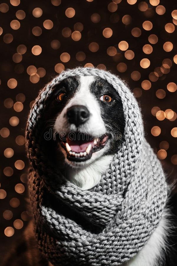 New Year`s fairy tale portrait of a border collie dog royalty free stock image