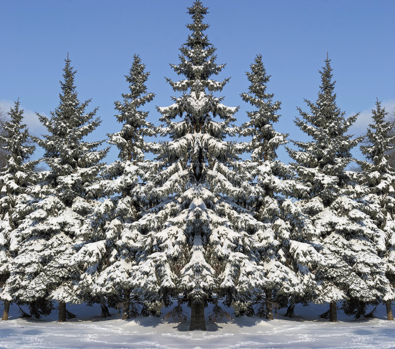 New Year's fur-trees royalty free stock photography