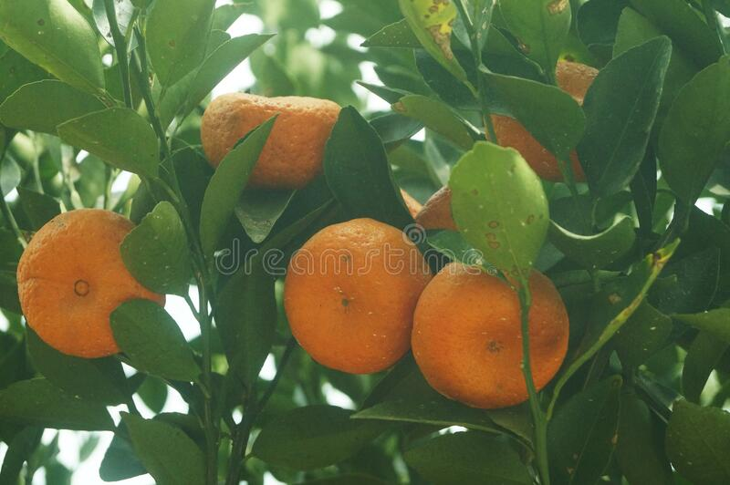 New Year`s oranges, in China`s guangdong province, people buy New Year`s oranges as a symbol of good fortune and happiness during. The Spring Festival. In stock photo