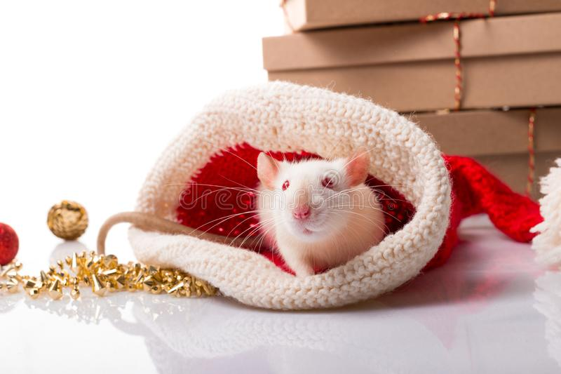 New year`s poster for Chinese happy year of rat 2020. White rat with new year decorations  on white background with copy royalty free stock photography