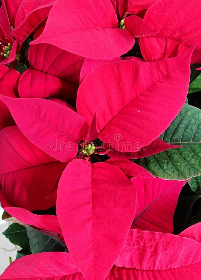 New Year symbolic red flower. New Year`s symbolic red floral close-up photo for congratulations stock image