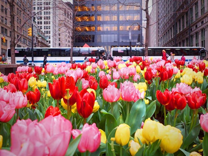 NEW YORK APRIL 24, 2015: Röd gul magentafärgad tulpanträdgårdrabatt av vägggatan med turistfolk bussar framme bilar på royaltyfria foton
