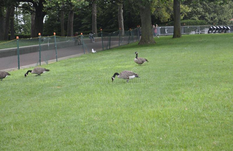 New York City Augusti 2nd: Gooses i parkera från statyn av frihetön i New York City royaltyfria foton