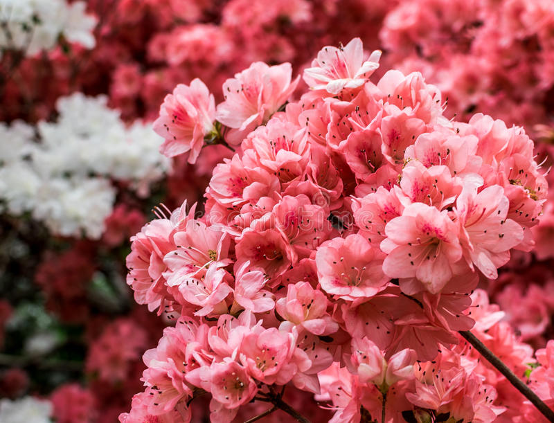 New York City Central Park Cherry Blossoms stock photos