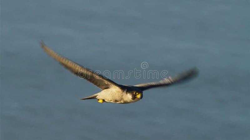 New York City a le plus à haute densité de nicher le faucon pérégrin sauvage LES Etats-Unis image libre de droits