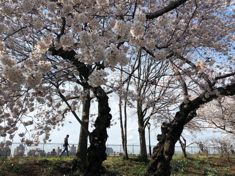 New York City, NY, Etats-Unis - 13 avril 2019 : Fleurs de cerisier magnifiques dans le Central Park image libre de droits