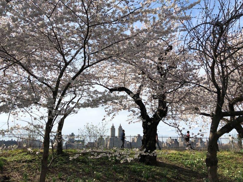 New York City, NY, los E.E.U.U. - 13 de abril de 2019: Flor de cerezo magn?fica en Central Park fotos de archivo libres de regalías
