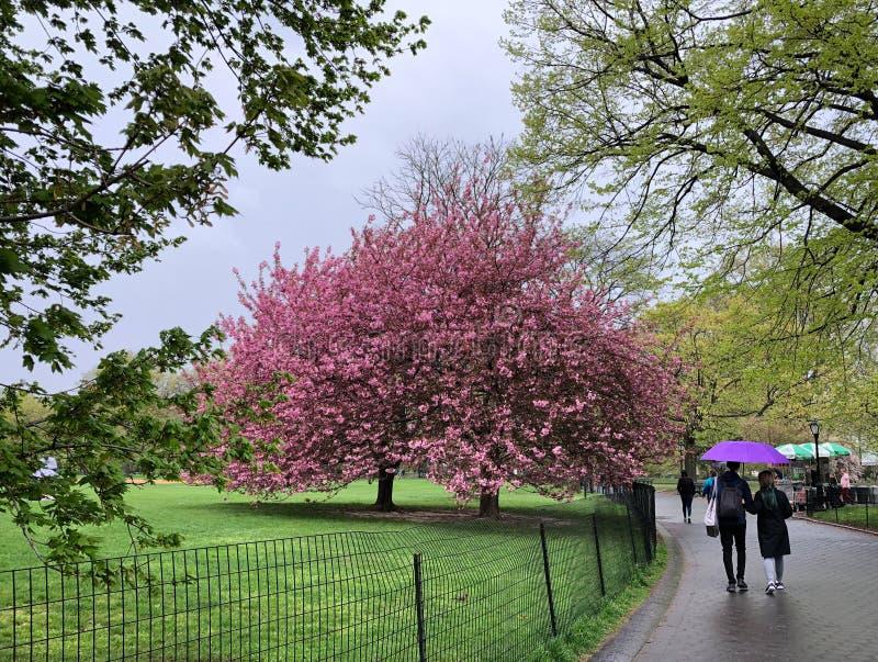 New York City NY, USA - April 22, 2019: Turister som går på den våta banan med det purpurfärgade paraplyet nära rosa blommande tr arkivbild