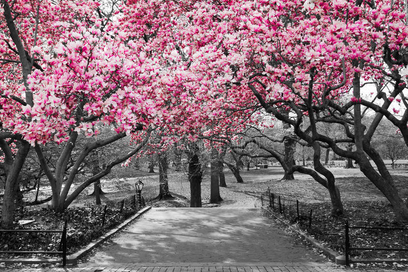 New York City - Pink Blossoms in Black and White royalty free stock photography