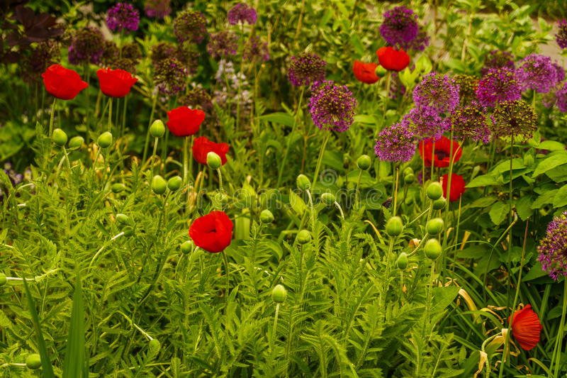 New York Garden, Red Poppy. Bronx royalty free stock images