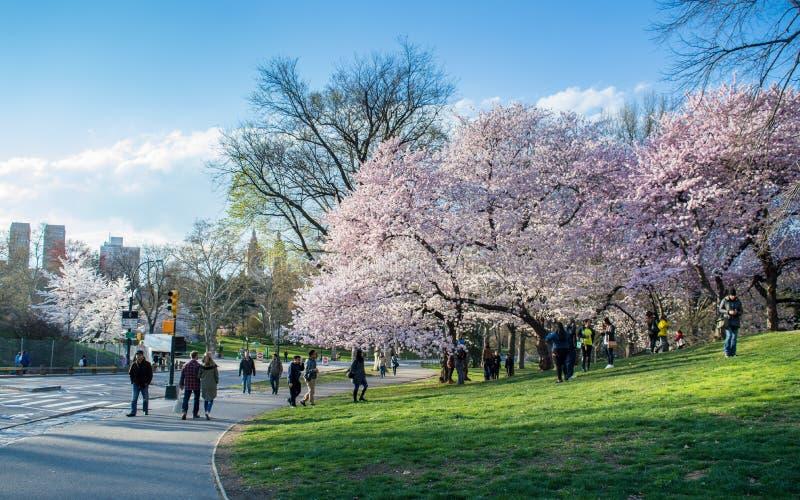 New York NY/USA - April 2016: Körsbärsröd blomning i den New York Central Park på en solig dag för vår, folk som omkring går, grö arkivfoto