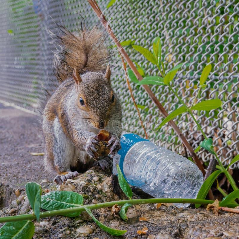 New York squirrel fotografering för bildbyråer