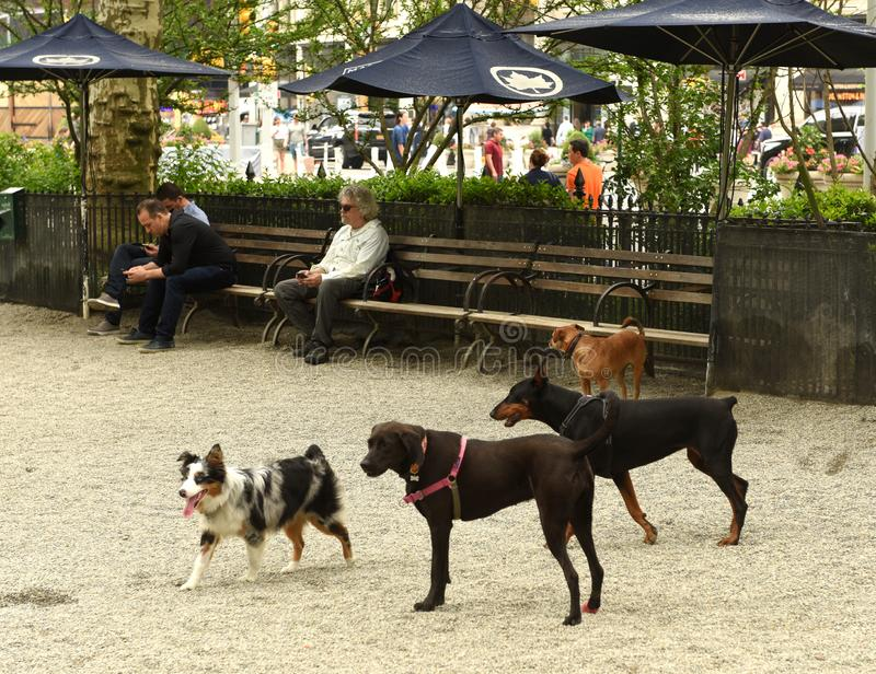 New York, USA - May 30, 2018: People walking dogs at Madison Square Dog Run in New York. stock photo