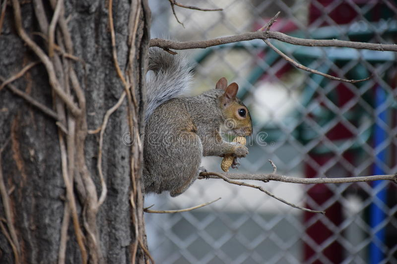 New Yorker Squirrel stock images
