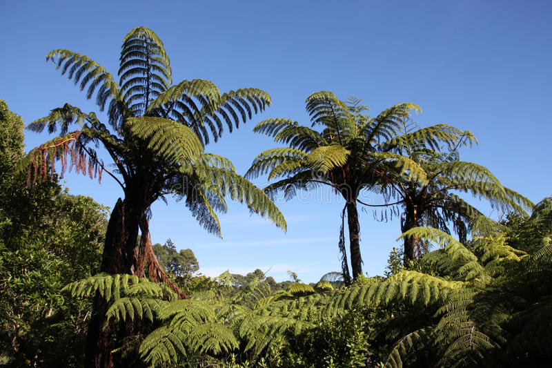 New Zealand. Native bush forest. Green hill at Coromandel peninsula. Punga endemic tree ferns stock photo