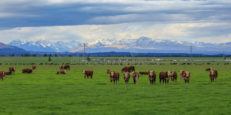 New Zealand Cattle Farm royalty free stock photography
