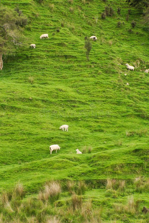 New Zealand Countryside with Sheeps on the Hill. New Zealand stock photography