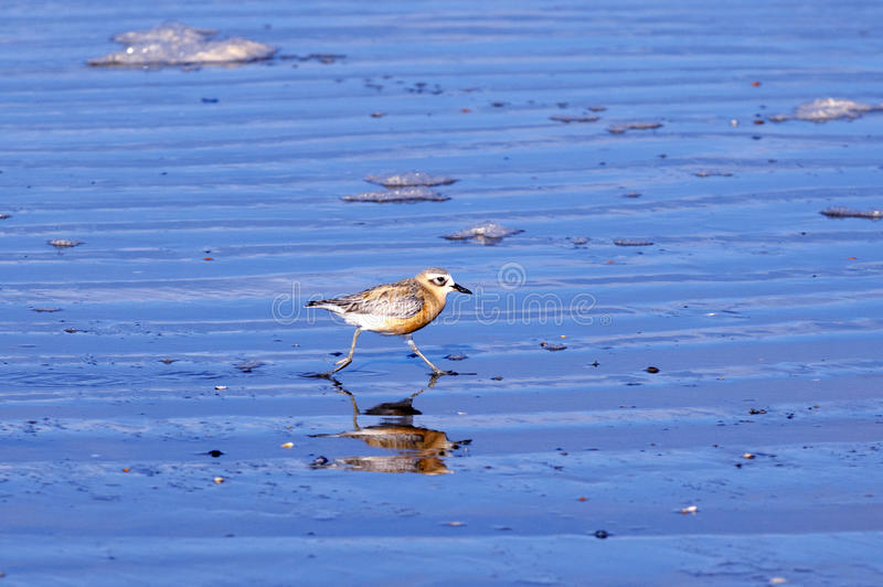 New Zealand Dotterel. A New Zealand Dotterel runs on the beach in Karikari peninsula in North New Zealand royalty free stock photo