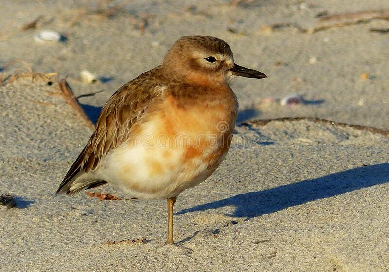 New Zealand dotterel. ( Charadrius obscurus) royalty free stock image