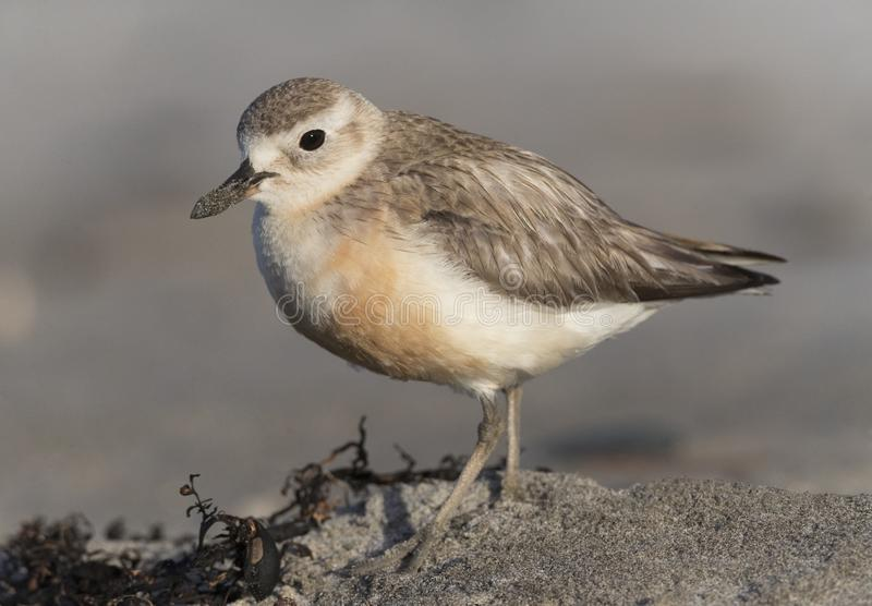 New Zealand Dotterel, Charadrius obscurus. Tawharanui Regional Park, North Island, New Zealand stock photos
